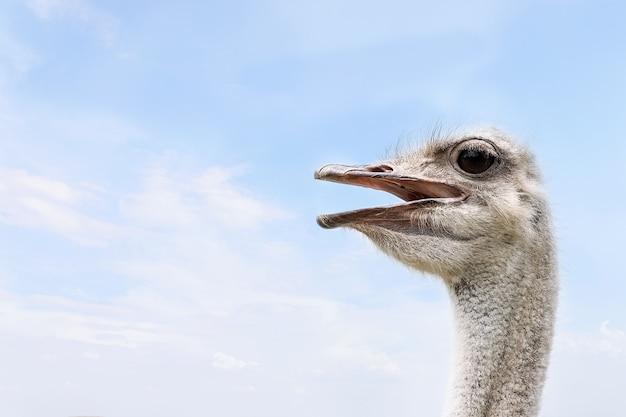 Крупный план головы страуса против голубого неба.