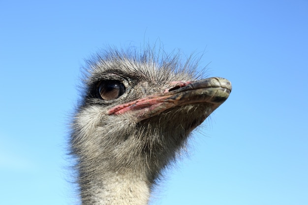 Ostrich head close-up on the sky