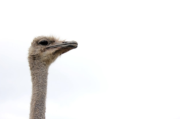 Ostrich head isolated close up