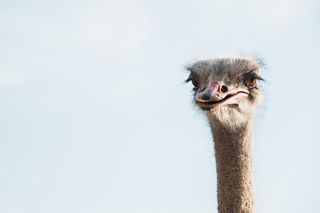Голова страуса на фоне голубого неба. копировать пространство