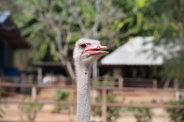 Голова страуса с размытой фермой