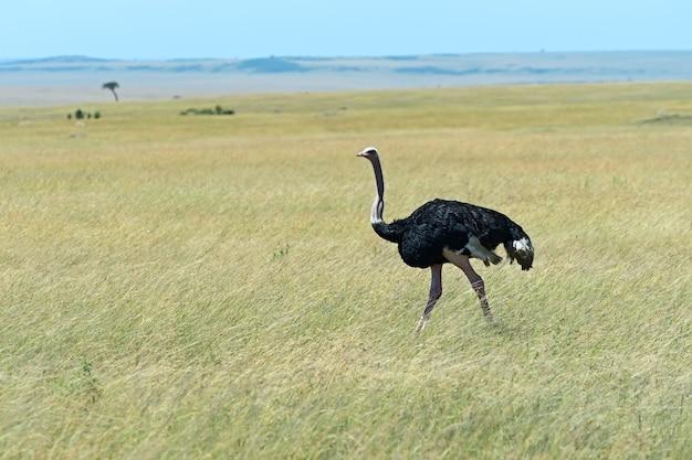 Страус в национальном парке масаи мара. кения. африка.