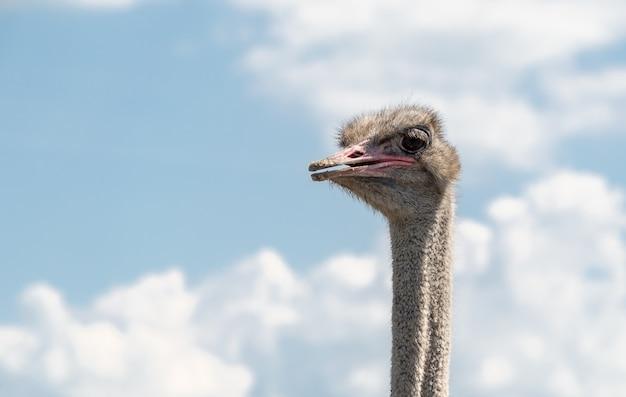 Голова самца страуса