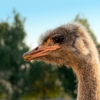 Страус на крупном плане головы и шеи страусиной фермы.