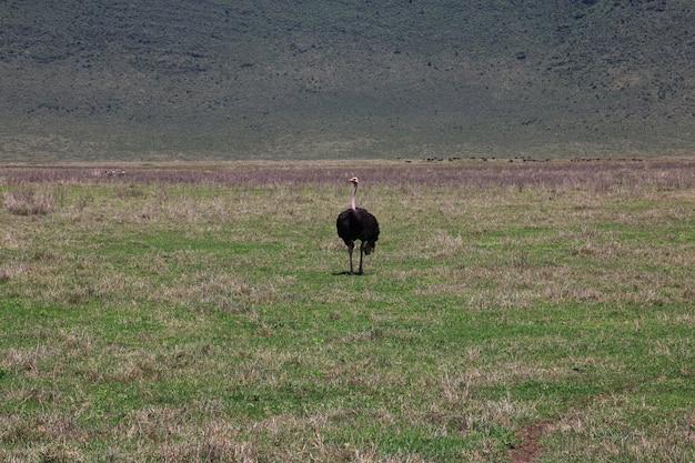 Страус на сафари в кении и танзании, африке