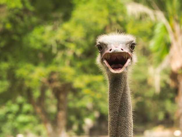 Ostrich open mouse to speak background
