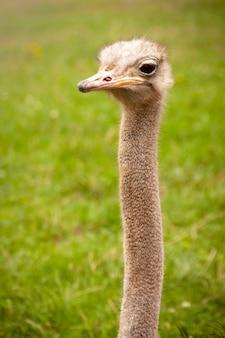 Портретная фотография страуса на свободе. struthio camelus в природном парке кабарсено в кантабрии