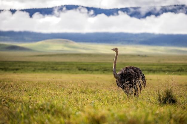 Страус - национальный парк серенгети - танзания