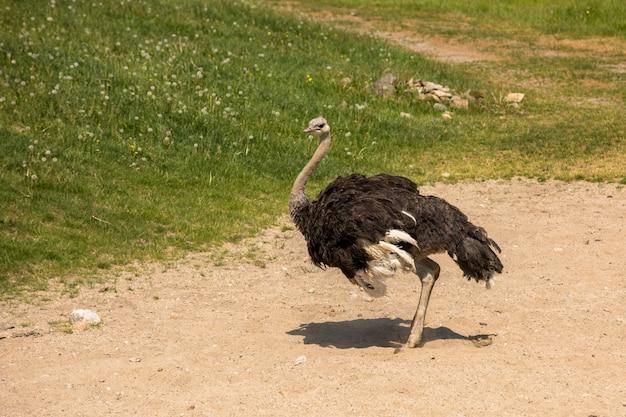 Страус, камелус струтио готовится к песчаной ванне в солнечную погоду