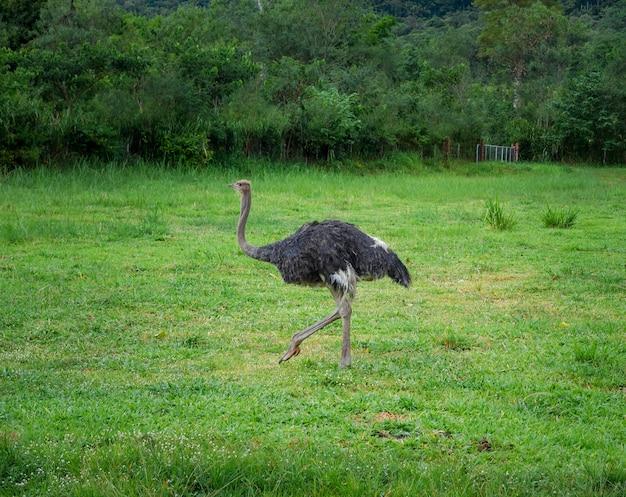 Страус гуляет в поле свежей зеленой травы, животное в природе