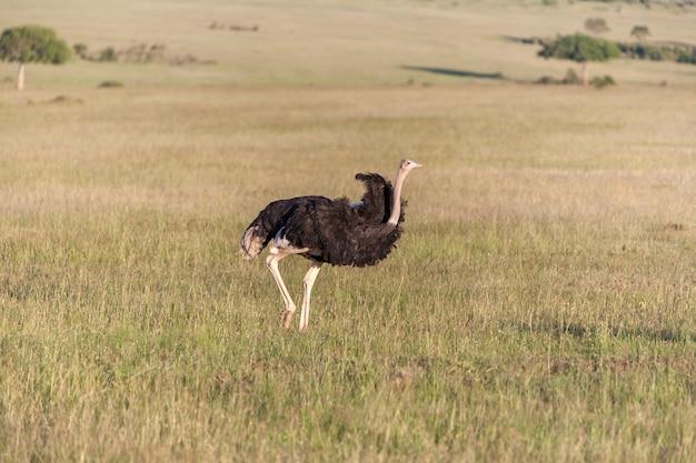 ダチョウがアフリカのサバンナを歩いています。ケニアのアンボセリのサファリ