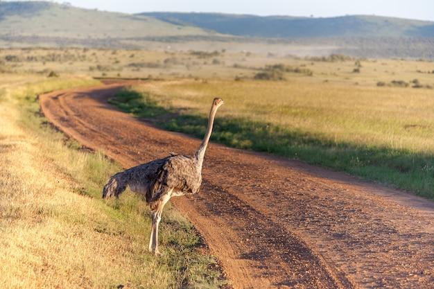 Страус гуляет по саванне в африке. сафари в амбосели, кения