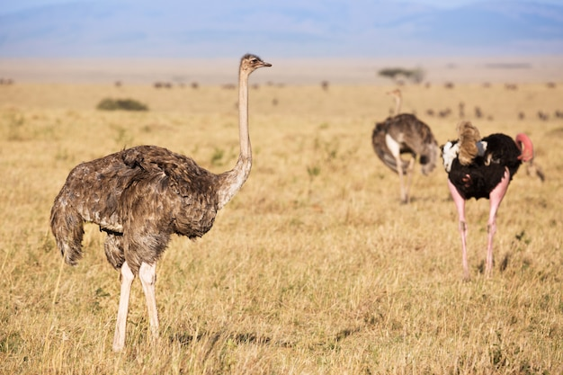 Ostriches before making love.