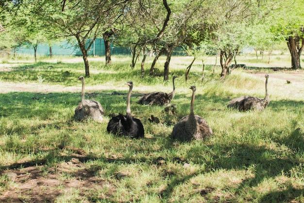 Страусы в дикой природе на зеленых лугах