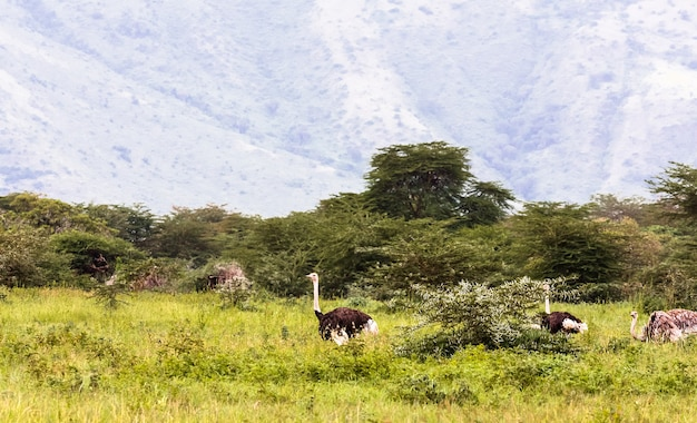 Ostriches inside the crater of ngorogoro.