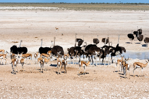 Ostriches in the nature habitat at etosha national park, namibia, south africa