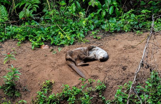 열대 습한 숲의 모래에 누워 있는 수달