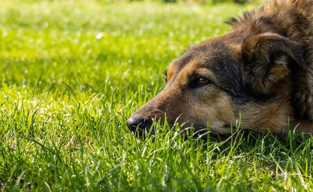 Outbred pensive good dog lies on the grass and is sad.