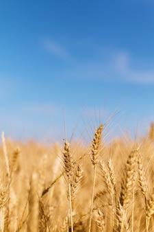 Открытый концептуальный точечный фокус колосьев пшеницы в поле пшеницы сезона хайст с копией пространства