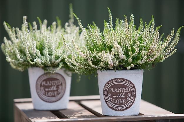 장식용 냄비에 헤더 식물을 사용한 야외 장식. 프리미엄 사진