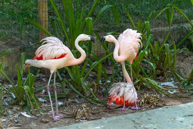 브라질 리우데자네이루의 호수에서 야외 플라밍고.