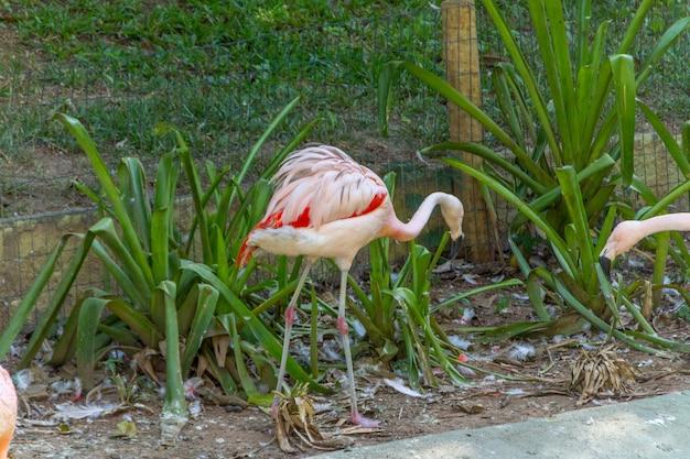 Outdoor flamingos in a lake in rio de janeiro brazil.