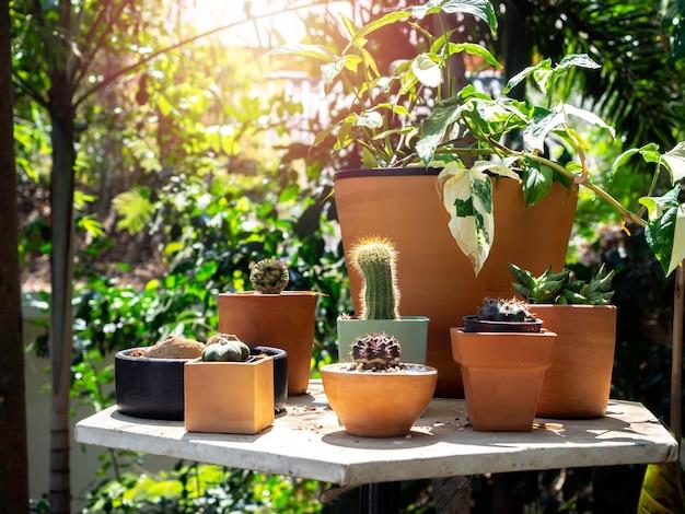 아침에 햇빛이 비치는 정원의 테이블에 많은 냄비에 선인장과 다양한 녹색 식물이있는 야외 정원.