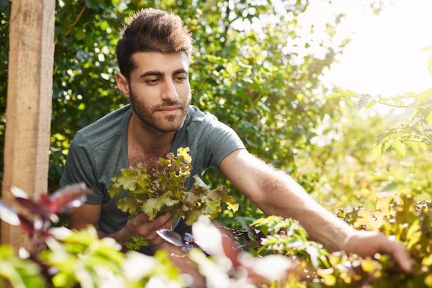 Ritratto all'aperto di attraente giovane giardiniere caucasico barbuto in maglietta blu che lavora in giardino, raccogliendo foglie di insalata e verdure, annaffiando le piante.