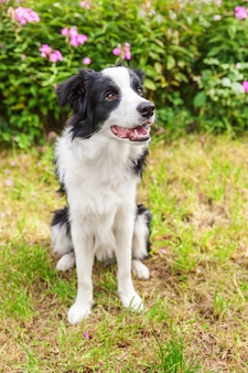Outdoor portrait of cute smiling puppy border collie sitting on grass flower background