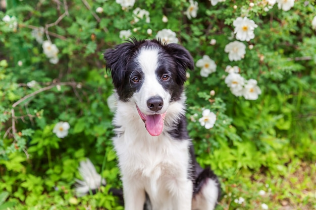 Outdoor portrait of cute smiling puppy border collie sitting on park or garden flower. new lovely member of family little dog on a walk. pet care and funny animals life concept.