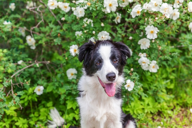 Outdoor portrait of cute smilling puppy border collie sitting on park or garden flower. new lovely member of family little dog on a walk. pet care and funny animals life concept.