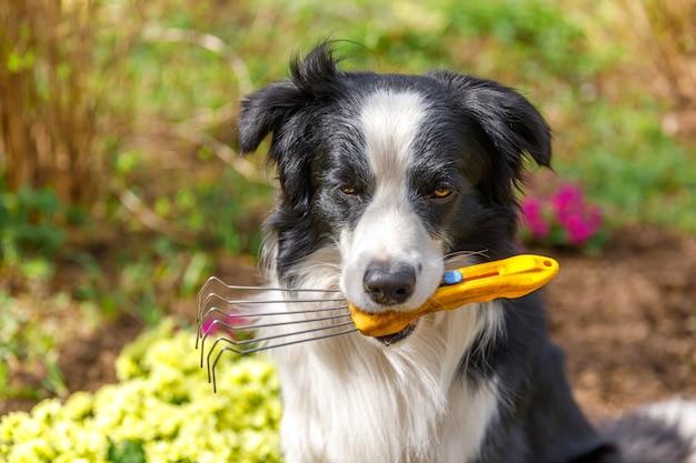 庭の背景に口の中で庭の熊手を保持している屋外の肖像画の犬のボーダーコリー
