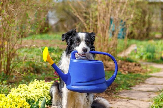 정원 배경에 물을 깡통을 들고 귀여운 강아지 보더 콜리의 야외 초상화. 정원사가 관개용 물뿌리개를 가져오는 재미있는 강아지입니다. 원예 및 농업 개념입니다.