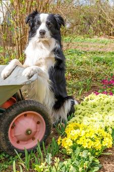 庭の背景の手押し車ガーデンカートとかわいい犬のボーダーコリーの屋外の肖像画