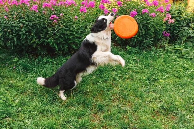 空中でおもちゃをキャッチかわいい面白い子犬の犬のボーダーコリーの屋外の肖像画。フライングディスクで遊ぶ犬。外の公園で犬と一緒にスポーツ活動。