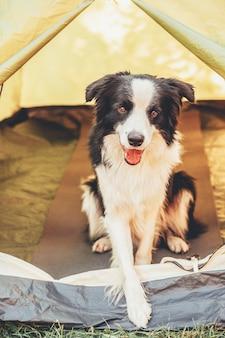 キャンプテントの中に座っているかわいい面白い子犬の犬のボーダーコリーの屋外の肖像画。ペットの旅行、犬の仲間との冒険。保護者とキャンプの保護。旅行観光のコンセプト