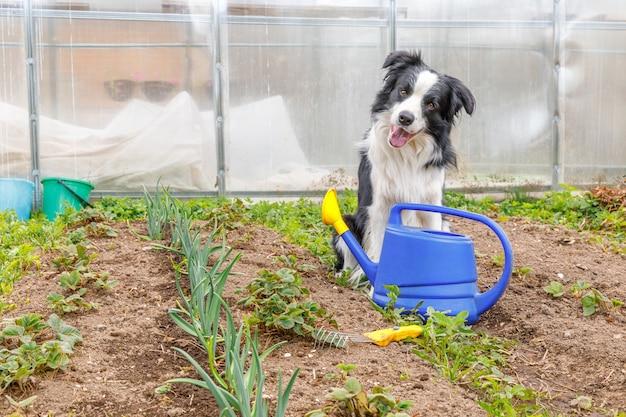 정원 배경에 물을 수있는 귀여운 웃는 개 보더 콜리의 야외 초상화. 정원사가 관개용 물뿌리개를 가져오는 재미있는 강아지입니다. 원예 및 농업 개념입니다.