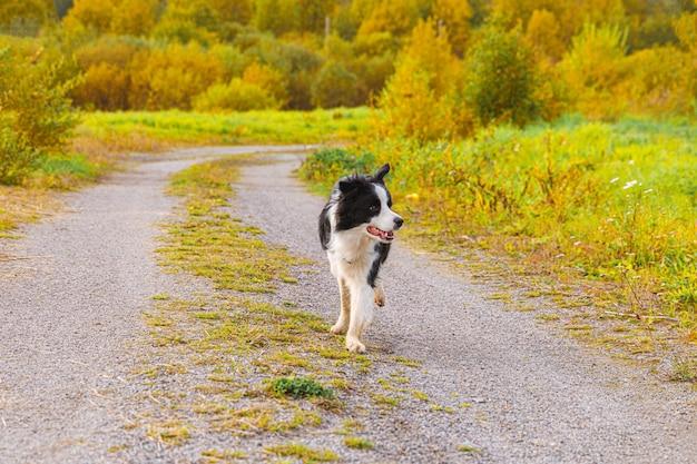Открытый портрет милого улыбающегося щенка бордер-колли в осеннем парке на открытом воздухе. маленькая собака с забавным лицом на прогулке в солнечный осенний осенний день. здравствуйте, осенняя концепция холодной погоды.
