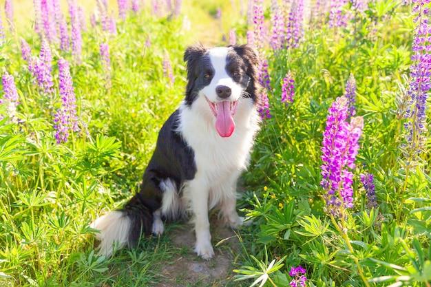잔디, 보라색 꽃 배경에 앉아 귀여운 웃는 강아지 보더의 야외 초상화.