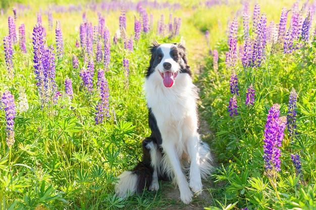 Открытый портрет милого улыбающегося щенка бордер-колли, сидящего на траве, фиолетовый цветочный фон