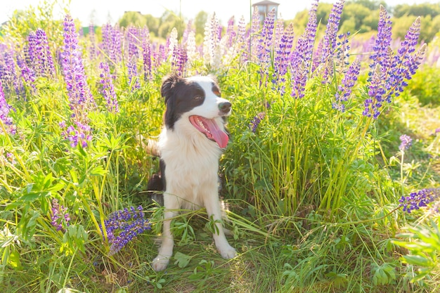 草、紫の花のテーブルに座っているかわいい笑顔の子犬ボーダーコリーの屋外の肖像画