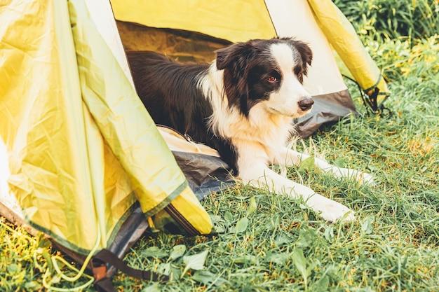 キャンプテントの中に横たわっている屋外の子犬の犬のボーダーコリー。ペットの旅行、犬との冒険