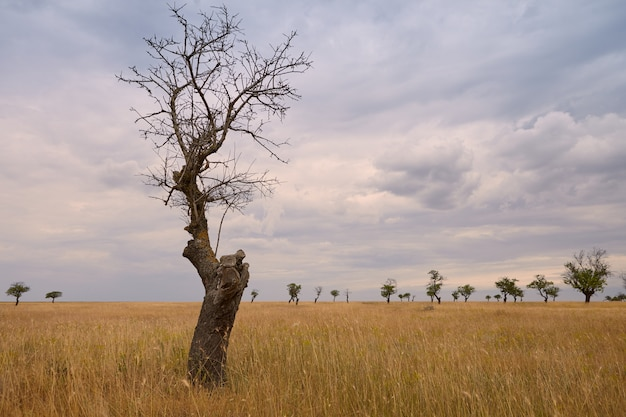 Outdoor shot of isolated lonely naked tree in foreground. overcloud sky and dry meadow with trees stripped off their leaves. summert, autumn, rural area, countryside, nature, environment concept