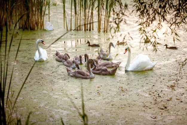 夜の湖で雛と一緒に泳ぐ 2 つの大人の白鳥の屋外ショット