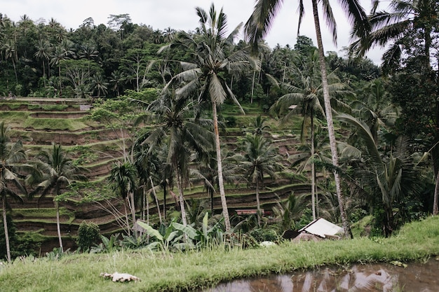 Outdoor shot of rice fields with palm trees. outdoor photo of exotic landscape with tropical forest