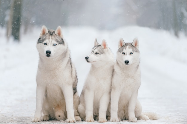 Outdoor winter portrait of siberian husky dog family