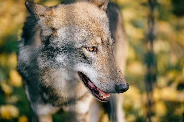 야외 늑대 초상화. 사냥 후 자연에서 야생 육 식 동물 포식자입니다. 유럽 숲에서 위험한 모피 동물. 동물원에서 가난한 외로운 송곳니 총구.