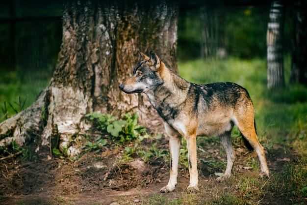 Outdoor wolf portrait. wild carnivore predator at nature after hunting.