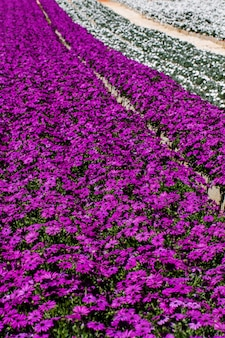 Взгляд большого outdoors фиолетового и белого питомника цветка маргаритки gerbera.