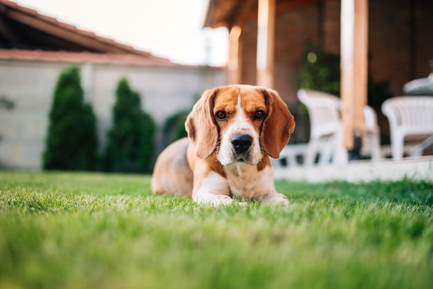 Собака бигля кладя на траву outdoors. милая собака во дворе.
